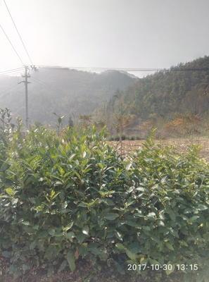 湖北恩施土巴东县银杏实生苗