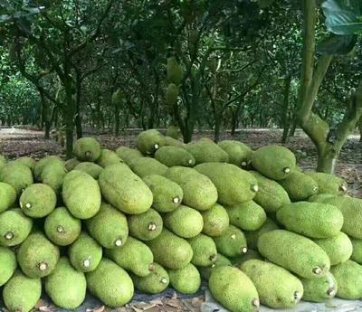 广西南宁江南区海南菠萝蜜 15斤以上