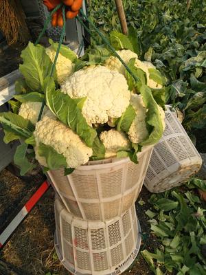 浙江杭州萧山区白面青梗松花菜 适中 2~3斤 乳白