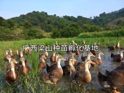 广西南宁兴宁区惠农推荐大种黄麻鸭苗
