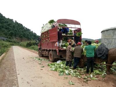 云南省红河哈尼族彝族自治州泸西县麻叶青白菜 1~2斤 净菜