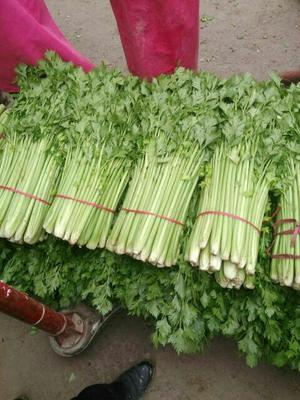 安徽省宿州市砀山县美国西芹 60cm以上 大棚种植 0.5斤以下