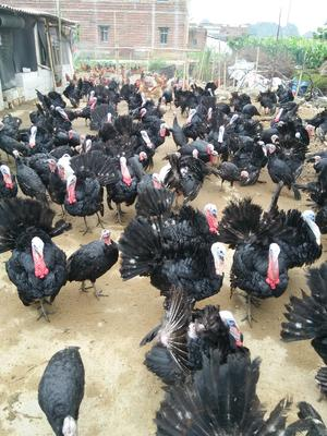 广西贵港覃塘区贝蒂纳火鸡 2-5斤