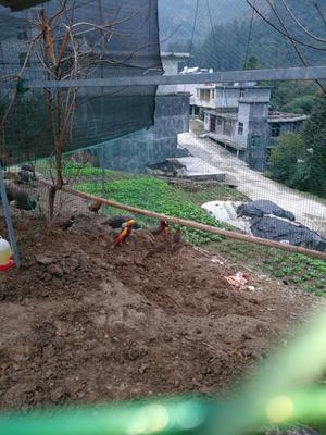 重庆黔江区红腹锦鸡