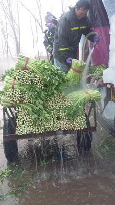 山东省潍坊市诸城市美国文图拉芹菜 55~60cm 大棚种植 0.5斤以下