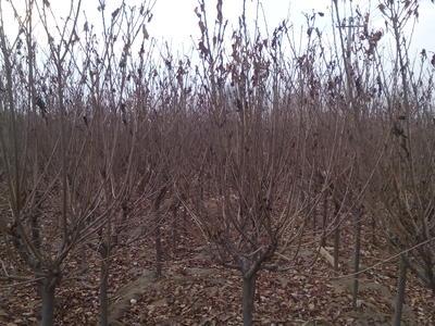 山东莱芜莱城区樱花樱花 6~8公分 2~3米