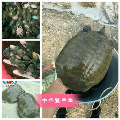 广东广州花都区中华鳖苗