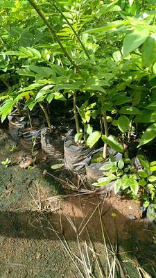 海南黄花梨树苗 0.5米以下