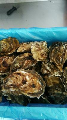 山东威海乳山市乳山牡蛎 野生 3-5只/公斤