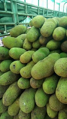 广西玉林玉州区海南菠萝蜜 15斤以上