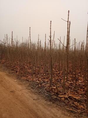 河南南阳西峡县七叶树