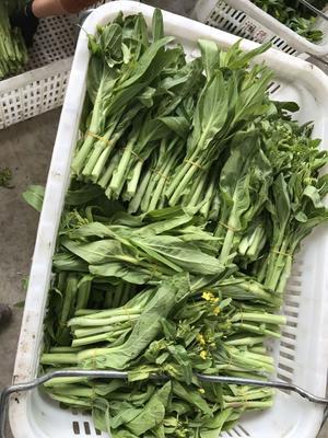 湖南省岳阳市华容县白菜苔 20~25cm