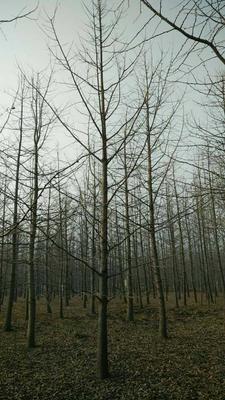 山东临沂郯城县银杏实生树