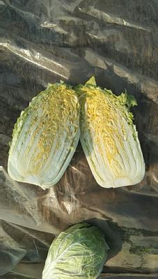 山东省青岛市莱西市韩国黄心白菜 3~6斤 净菜