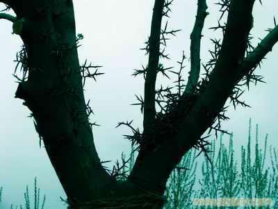 贵州安顺平坝县皂角树