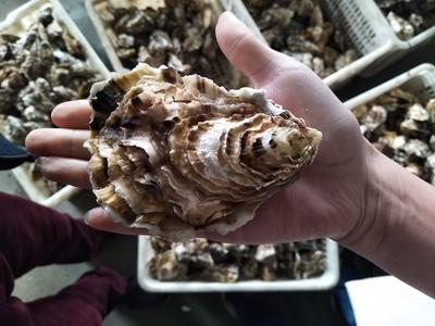 山东威海乳山市乳山牡蛎 人工殖养 5-10只/公斤
