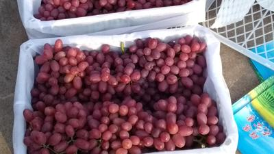 四川凉山西昌市克伦生葡萄 5%以下 1次果 2斤以上
