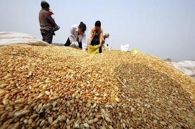 山东泰安东平县混合小麦