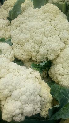 天津武清白花菜花 松散 3~4斤 乳白