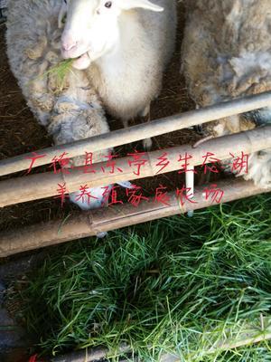 安徽宣城广德县羊腰子 2-3个月