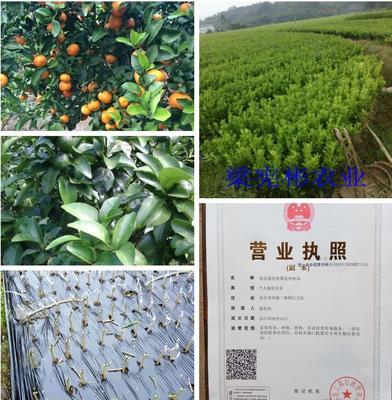 广西壮族自治区玉林市容县柑树苗 0.5米以下