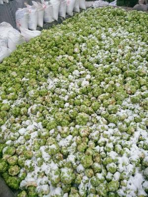 重庆涪陵区盐渍榨菜