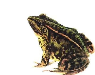 上海黄浦青蛙