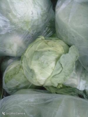 天津武清区卷心包菜 2.0~2.5斤