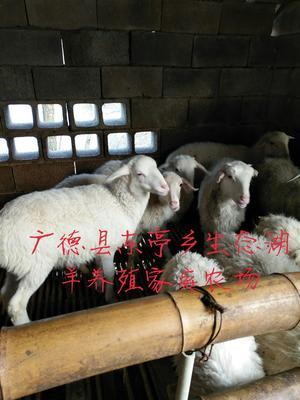 安徽宣城广德县羊肚 2-3个月