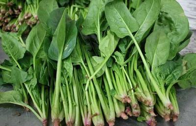 陕西省西安市周至县黑叶菠菜 15~20cm