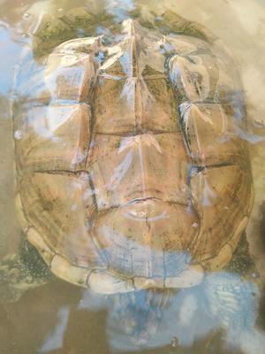 广东茂名电白区鳄龟 20-30cm 10斤以上