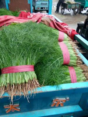 河北省邯郸市永年县美冠油麦菜 20~25cm以上