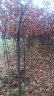 陕西西安户县日本红叶樱花 4公分以下 2~3米