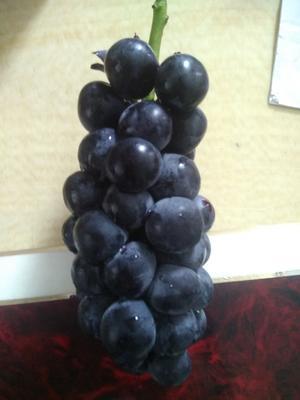 广东湛江吴川市夏黑葡萄 5%以下 1次果 1.5- 2斤