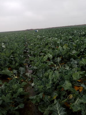 浙江杭州萧山区耐寒优秀西兰花 0.8~1.2斤 10~15cm