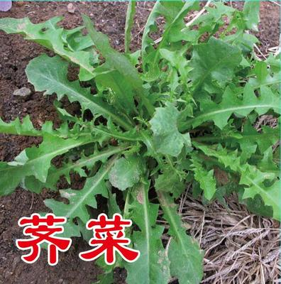 山东省济南市历城区荠菜种子