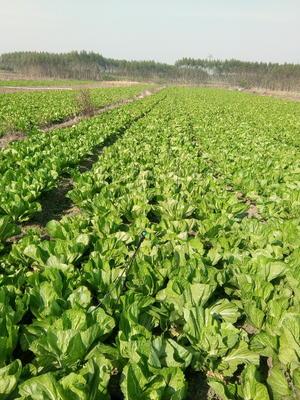 广西壮族自治区南宁市宾阳县卷心包菜 1.5~2.0斤