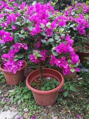 广东湛江麻章区紫花三角梅 0.5~1.0米