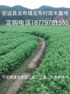江西赣州安远县杉木树苗