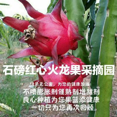 广西贺州钟山县红皮红肉火龙果 大(7两以上)
