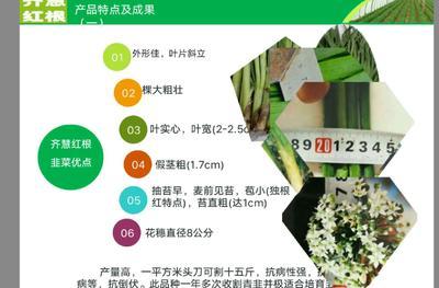 山东省潍坊市安丘市韭菜种子