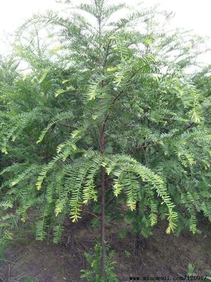 湖南益阳南县南方红豆杉 1~1.5米