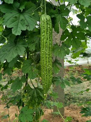 湖北荆州荆州区有籽丽都种子