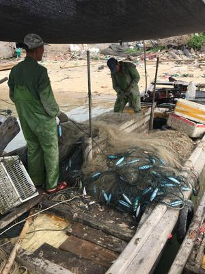 福建漳州漳浦县东海带鱼 野生 0.5公斤以下