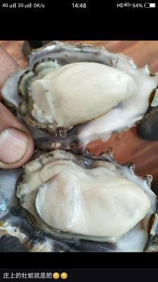 山东烟台海阳市海阳牡蛎 人工殖养 20只/公斤以上