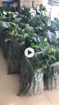 山东省潍坊市奎文区潍县青萝卜 1~1.5斤