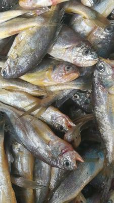 山东威海环翠区山东威海渤海湾海捕特 野生 0.5公斤以下