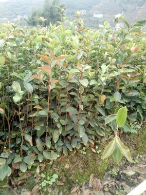广西百色田林县红花油茶树