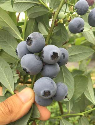 山东泰安岱岳区康维尔蓝莓苗
