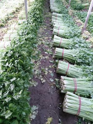 安徽省宿州市砀山县玻璃脆芹菜 55~60cm 大棚种植 0.5~1.0斤